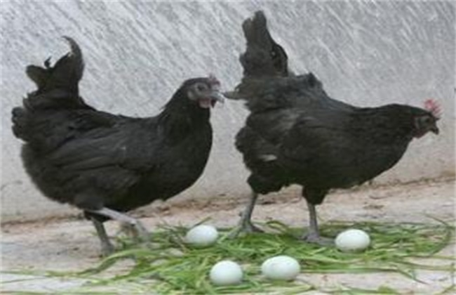 母鸡产蛋困难的原因和解决方法