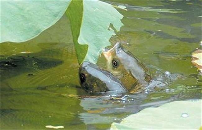 草鱼 养殖 注意事项