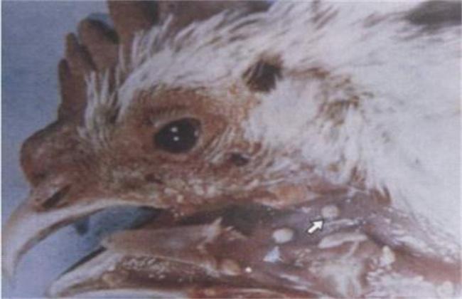 鸡痘的症状和防治方法