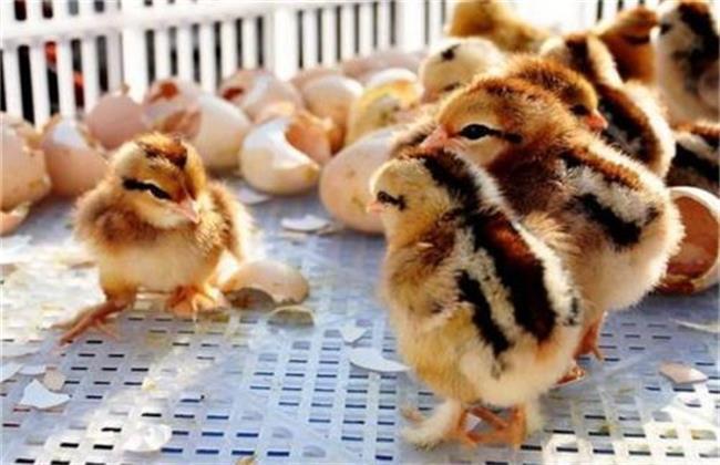 雏鸡采食量低的原因及解决方法