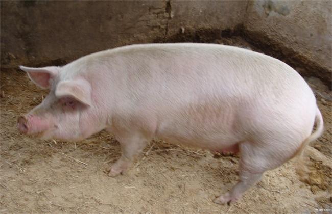 猪胀气该怎么办