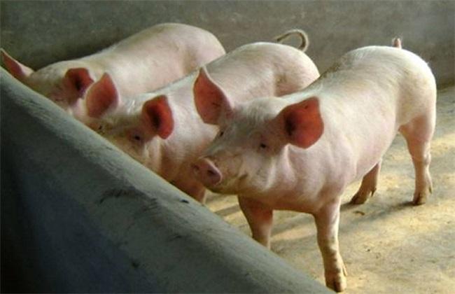 猪 方法 胀气