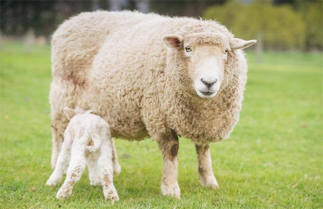 羊的炭疽病该怎么办
