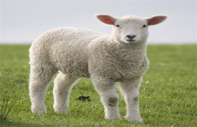 羊 炭疽病 怎么办