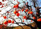 柿子树不结果的原因
