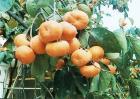 柿子树掉果怎么办