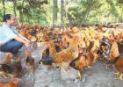 夏季养鸡技术