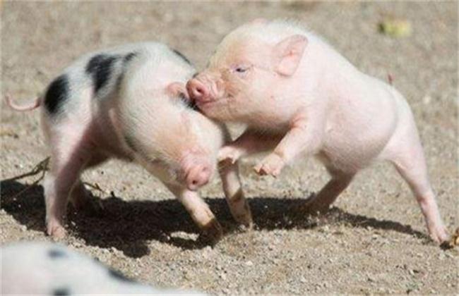 猪 呼吸道疾病 原因
