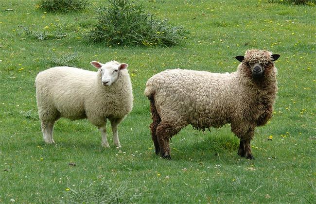 防止羊寄生虫的方法