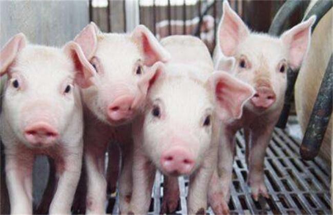 如何使猪快速育肥