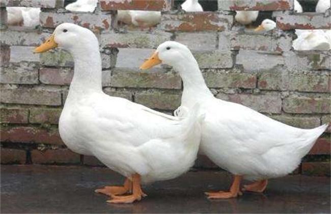 肉鸭养殖管理方法