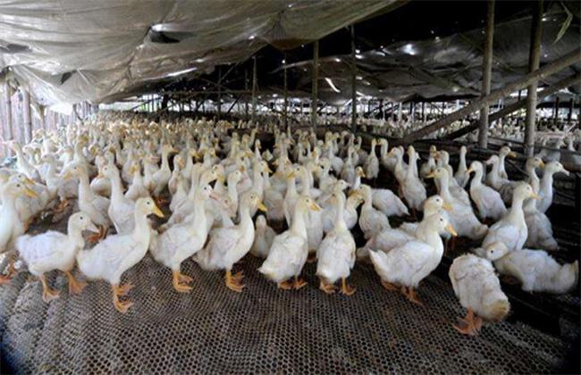 肉鸭 养殖 管理方法