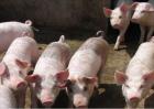 猪的呼吸道疾病发生原因