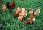 春季土鸡养殖要注意什么