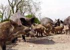 野猪养殖注意事项