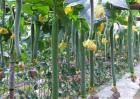 怎么提高丝瓜的产量