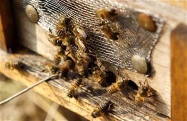 蜜蜂不造脾的原因及解决方法
