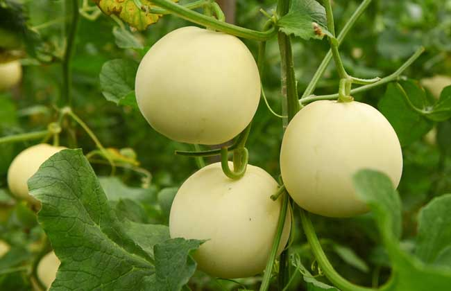 春季甜瓜的田间管理方法