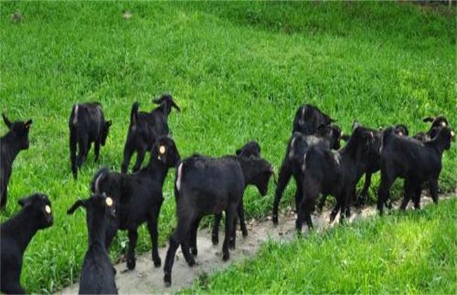 黑山羊的养殖技术