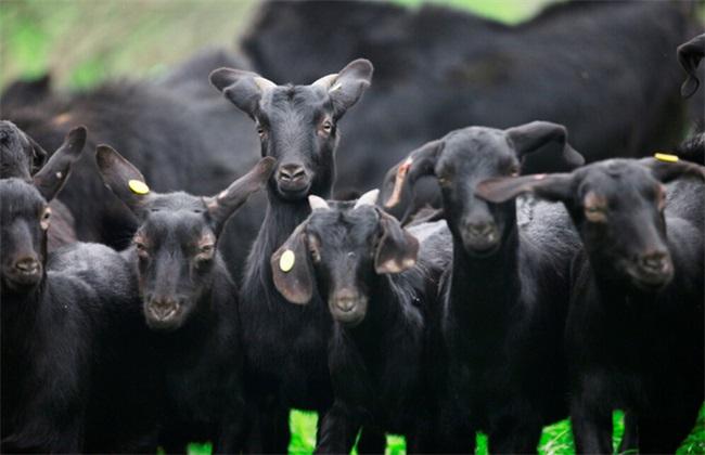黑山羊 技术 管理