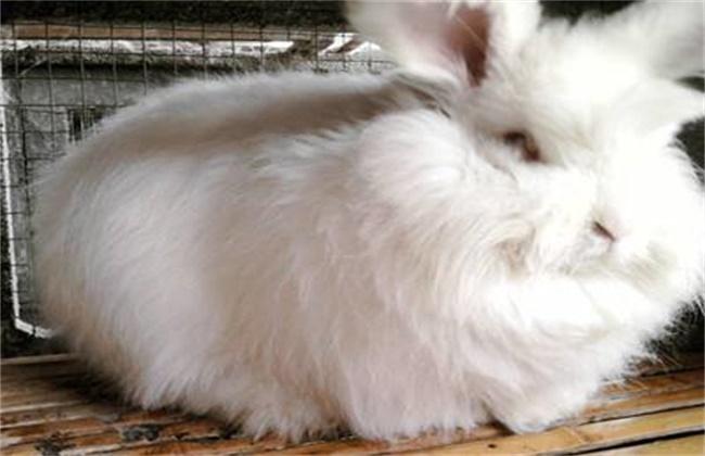长毛兔催毛方法