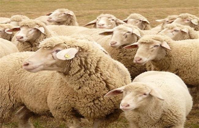 绵羊的养殖前景如何