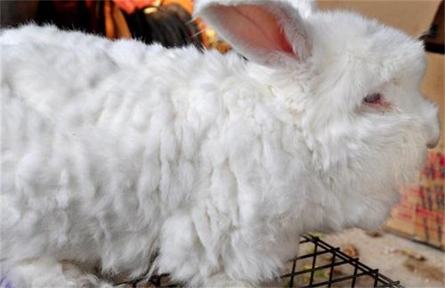 长毛兔拔毛注意事项
