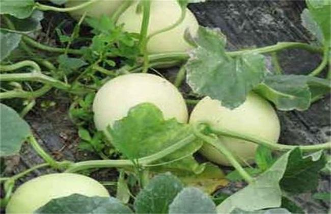 甜瓜裂瓜的原因及防治