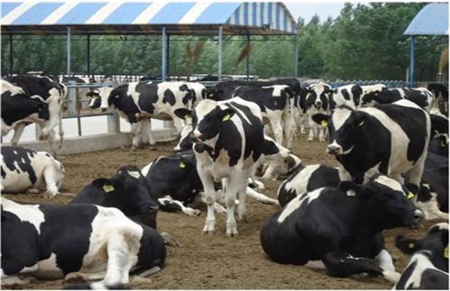 奶牛热应激反应的危害