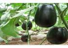 茄子如何高产的栽培技术