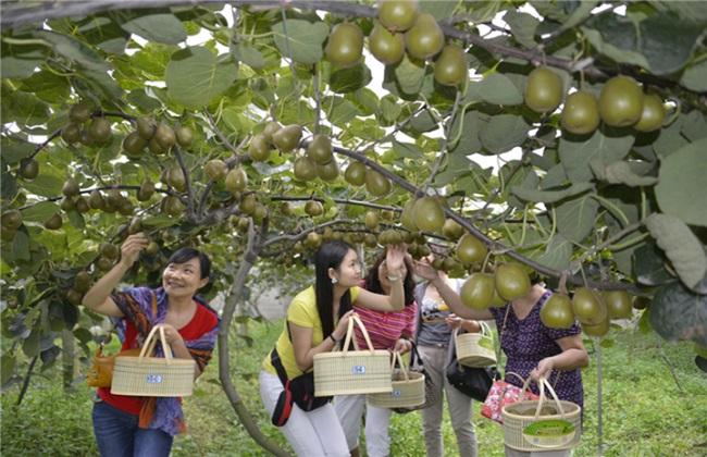 猕猴桃 夏季 果园管理
