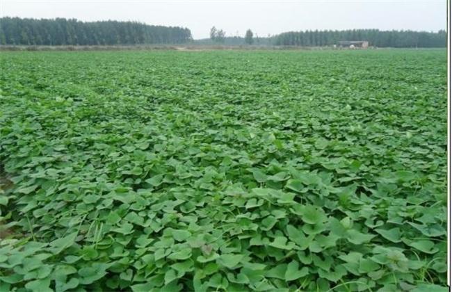 地瓜常见的病虫害防治