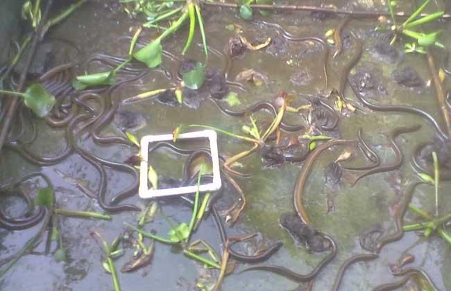 高温季节黄鳝养殖管理要点