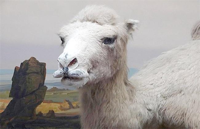 骆驼养殖前景