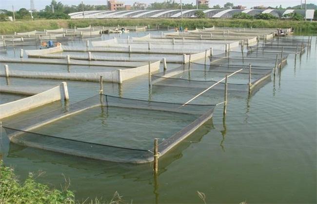 罗非鱼越冬的养殖方法