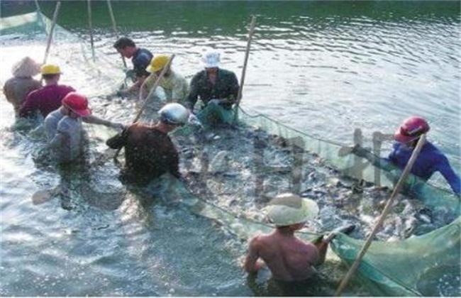 鲈鱼的高产养殖技术