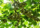红心猕猴桃高产施肥方法