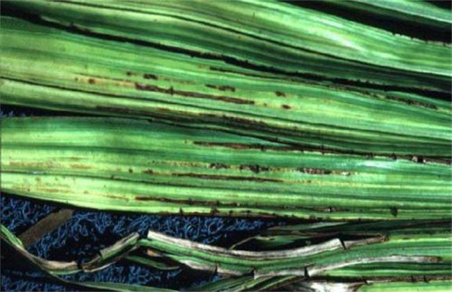 椰子常见病虫害防治方法
