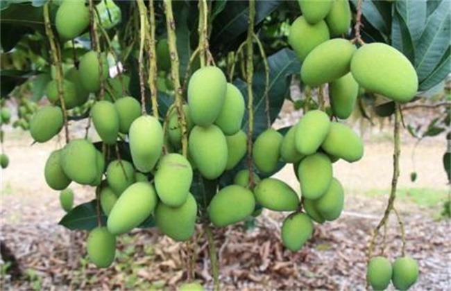 芒果高产种植技术