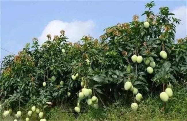 芒果果树栽培:芒果的高产栽植种养技术
