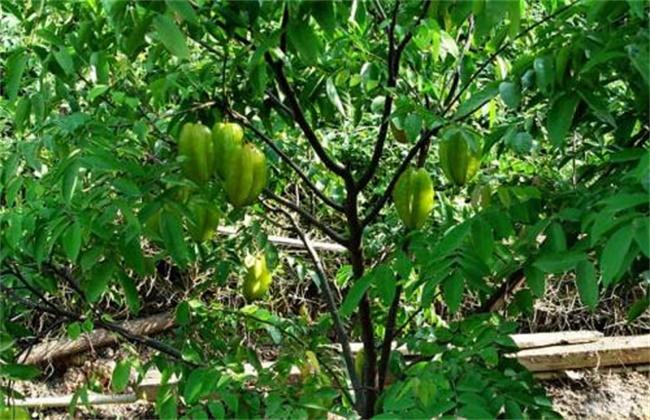 杨桃的高产种植技术