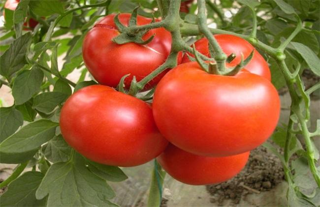 西红柿高产的种植方法