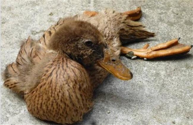 鸭子不吃东西的原因