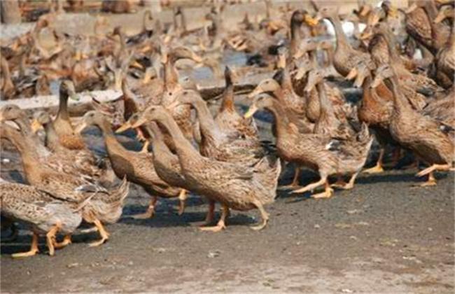 蛋鸭人工强制换羽技术