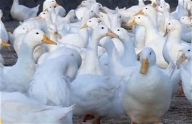 冬季提高鸭子产蛋量的方法
