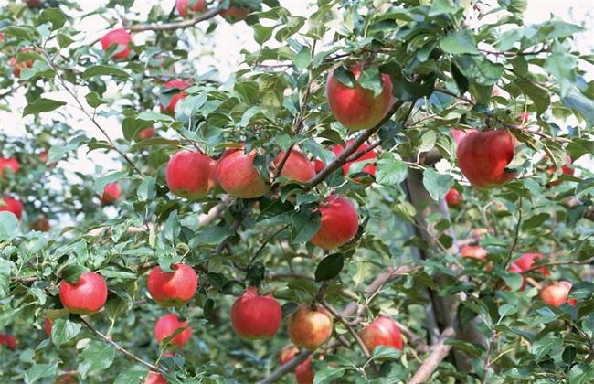 苹果树的高效施肥方法