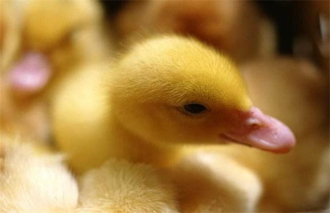 雏鸭饲养管理技术