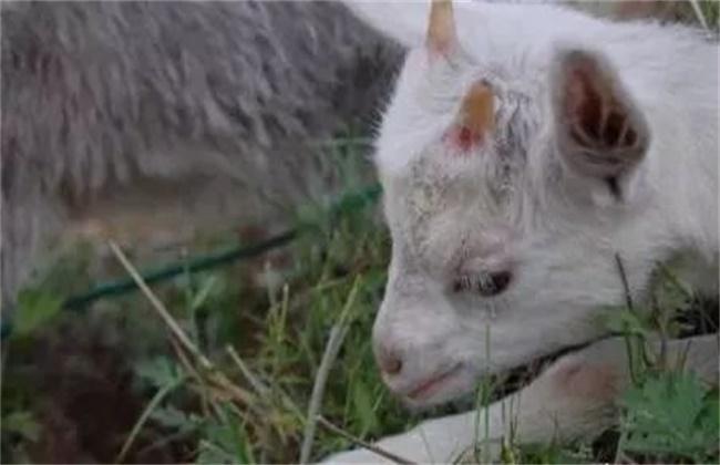 夏季绵羊养殖常见疾病防治方法