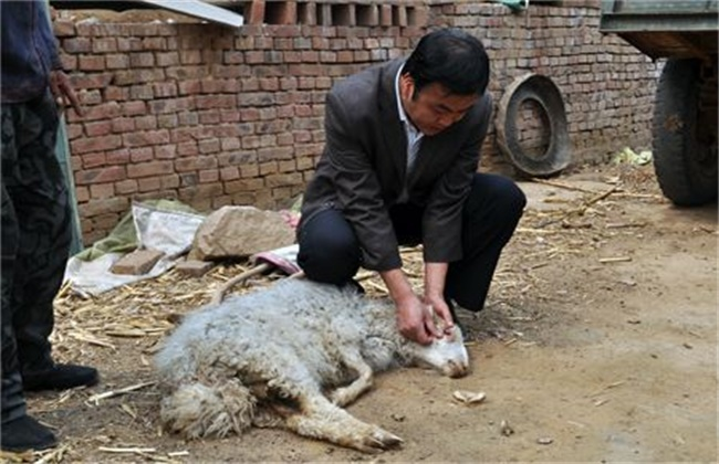 绵羊养殖管理技术