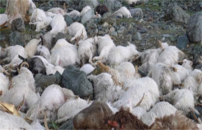 羊食盐中毒的症状鸡防治方法